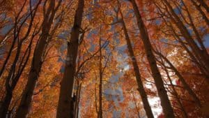 Fall Orange Aspen Forest Stock Footage by Motion Places. Download our free HD video footage, or purchase high quality 4K clips. Royalty Free licensing.