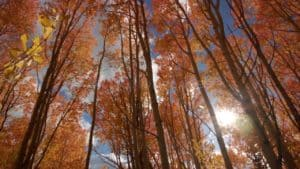 Orange Fall Aspen Trees Stock Footage by Motion Places. Download our free HD video footage, or purchase high quality 4K clips. Royalty Free licensing.