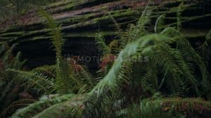 Redwood Ferns Stock Footage by Motion Places. Download our free HD video footage, or purchase high quality 4K clips. Royalty Free licensing.