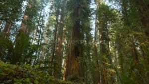 Redwood Forest Free Stock Footage by Motion Places. Download our free HD video footage, or purchase high quality 4K clips. Royalty Free licensing.