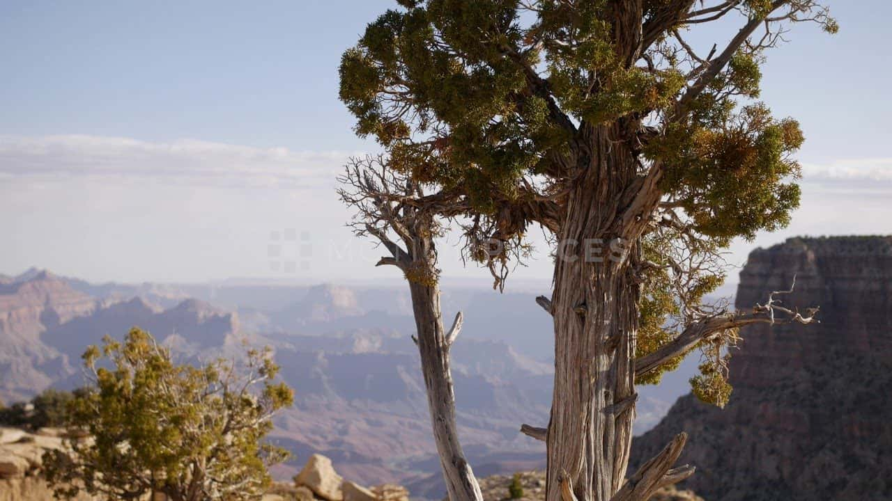 Grand Canyon Tree Free Stock Footage
