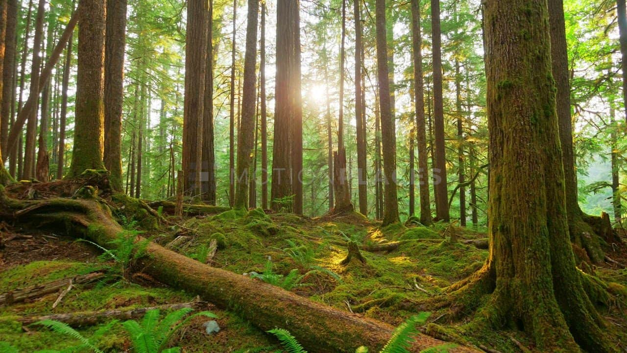 Green Forest Timelapse Free Stock Footage by Motion Places. Download our free HD video footage, or purchase high quality 4K clips. Royalty Free licensing.