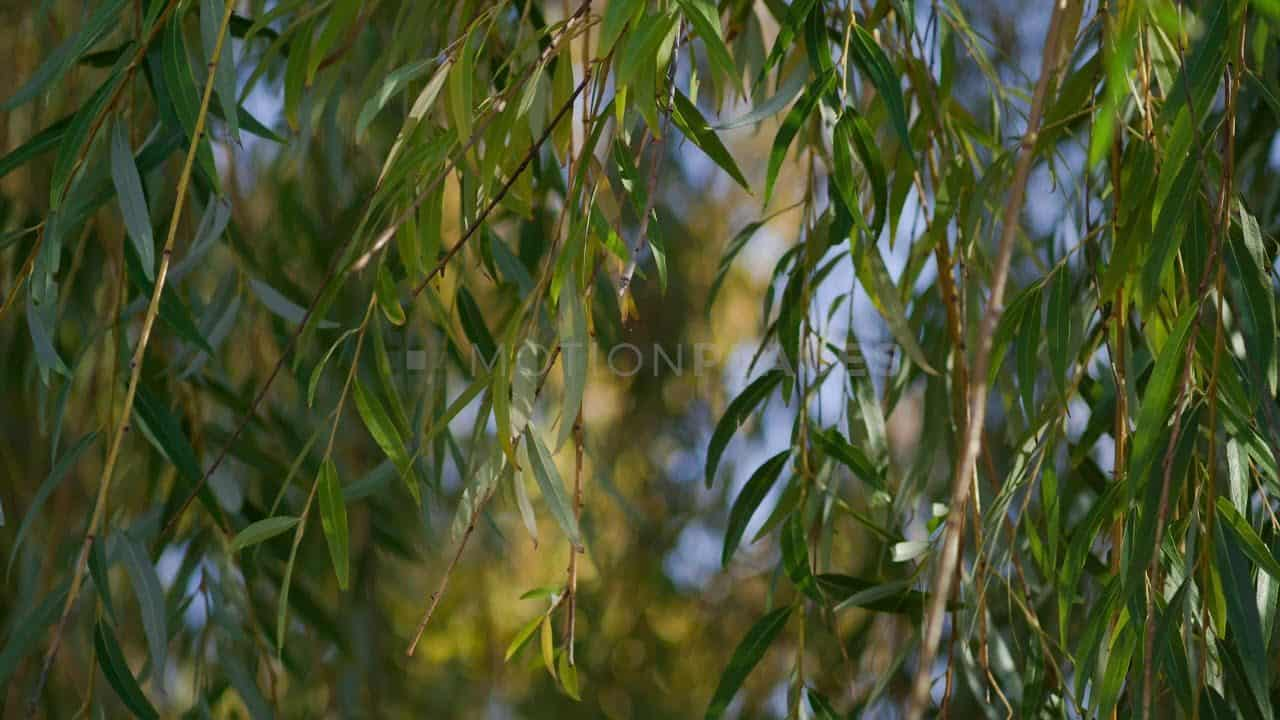 Wind Blows Hanging Branches Free Stock Footage by Motion Places. Download our free HD video footage, or purchase high quality 4K clips. Royalty Free licensing.