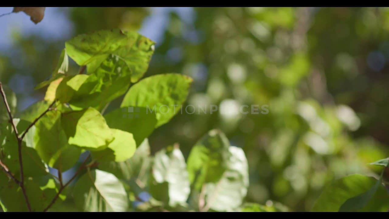 Windblown Green Leaves Free Stock Footage by Motion Places. Download our free HD video footage, or purchase high quality 4K clips. Royalty Free licensing.